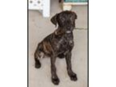 Adopt Bunnie a Labrador Retriever, Catahoula Leopard Dog