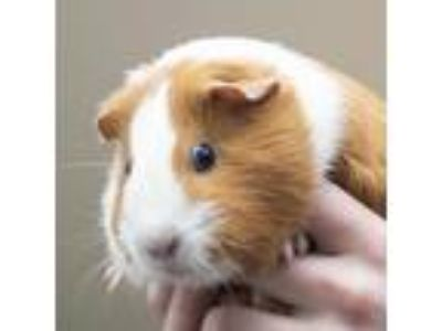 Adopt Seuss a Guinea Pig small animal in Middletown, RI (25820526)