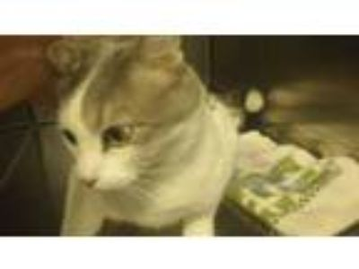 Adopt STEVE a White (Mostly) Domestic Shorthair / Mixed (short coat) cat in
