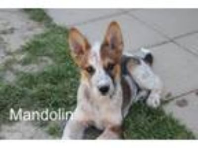 Adopt Mandolin a Australian Cattle Dog / Blue Heeler