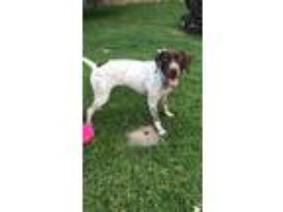 Adopt Millie a German Shorthaired Pointer