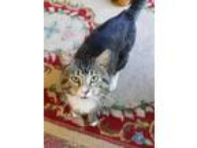 Adopt Carney a Brown Tabby Domestic Shorthair / Mixed cat in Mount Laurel