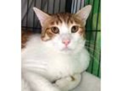 Adopt Joey a Orange or Red (Mostly) Domestic Shorthair / Mixed (short coat) cat