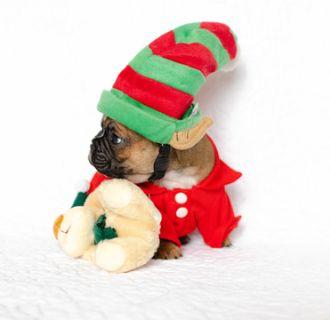 French Bulldog PUPPY FOR SALE ADN-105070 - Adorable little boy Felix