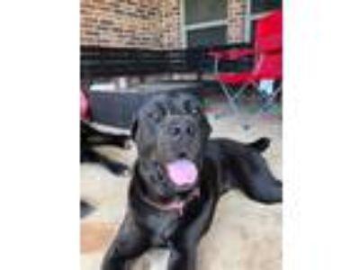 Adopt Emily a Brown/Chocolate Cane Corso / Labrador Retriever dog in Carrollton