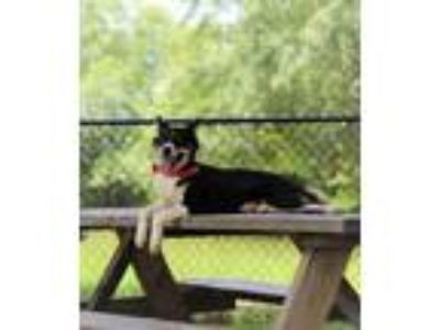Adopt Gemma Lonestar a Shepherd, Border Collie
