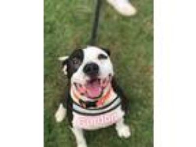 Adopt Gordon a American Staffordshire Terrier, Mixed Breed