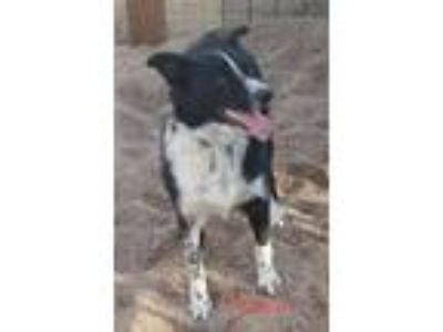 Adopt Louie a Black - with White Australian Shepherd / Border Collie / Mixed dog