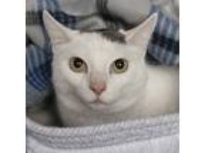 Adopt Garrett a White (Mostly) Domestic Shorthair (short coat) cat in