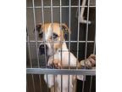 Adopt Pepper Southern (Rescue Only) a Pit Bull Terrier / Mixed dog in Rome