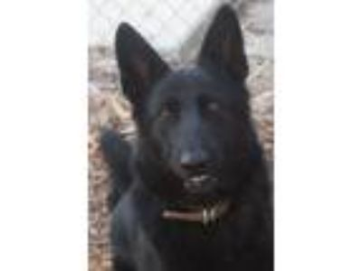 Adopt Shadow a German Shepherd Dog