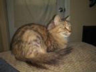 Adopt Ava a Tiger Striped Calico cat in Clinton, CT (25576348)