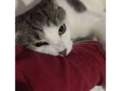 Adopt Dallas a Domestic Short Hair