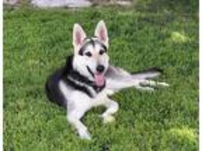 Adopt Luna is well behaved! a Black - with Tan, Yellow or Fawn German Shepherd