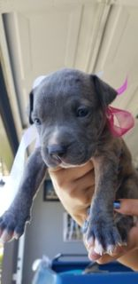 American Pit Bull Terrier PUPPY FOR SALE ADN-89515 - BEAUTIFUL XL PITBULL PUPPIES