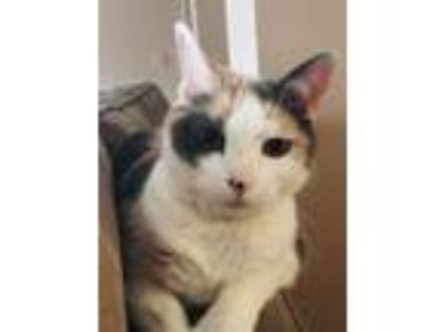 Adopt Mae a Calico or Dilute Calico Calico cat in Pikesville, MD (25878638)