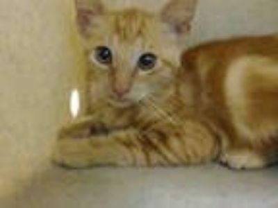 Adopt a Orange or Red Domestic Shorthair / Mixed (short coat) cat in Downey
