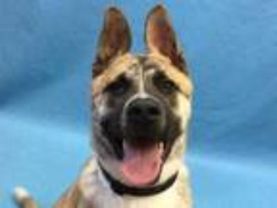 Adopt Chase a Brindle German Shepherd Dog / Mixed dog in Golden Valley