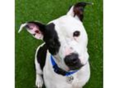 Adopt Koby a White American Staffordshire Terrier / Mixed dog in Sacramento