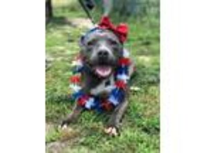 Adopt Betty Boop a Pit Bull Terrier, Mixed Breed