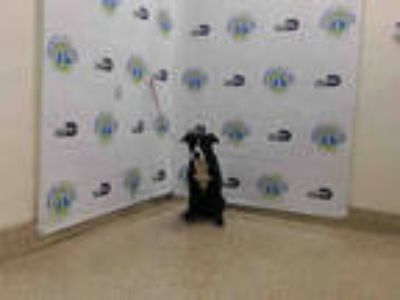 Adopt BARRY a Black - with White Border Collie / Mixed dog in Doral