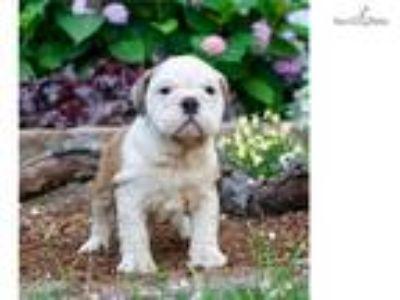 Velour Akc English Bulldog NICE!