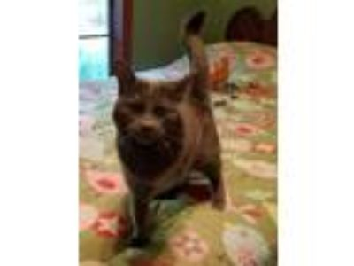 Adopt Cassidy a Domestic Short Hair