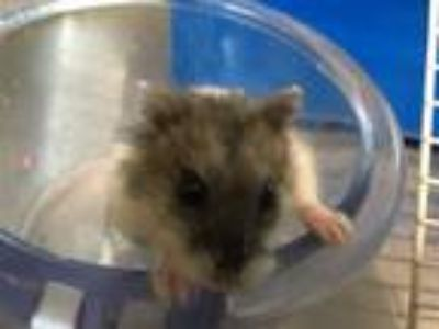 Adopt HARRY a Hamster