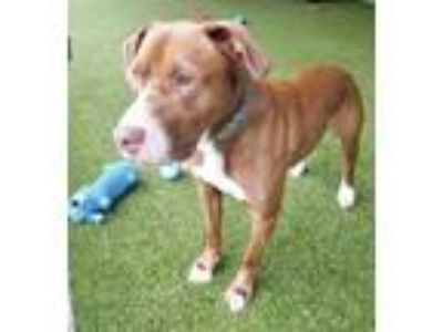 Adopt Coconut a Brown/Chocolate Labrador Retriever / Mixed dog in Clearfield