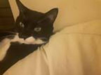 Adopt CASSIDY a Black & White or Tuxedo Domestic Shorthair cat in White Plains