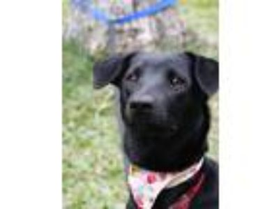 Adopt Persis a Black Labrador Retriever / Shepherd (Unknown Type) / Mixed dog in