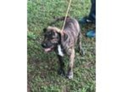 Adopt Camo a Pit Bull Terrier