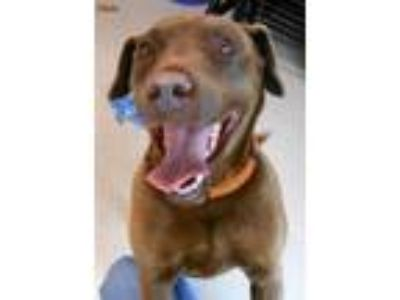 Adopt Halo a Chocolate Labrador Retriever