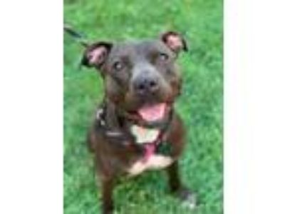 Adopt Trini a Black American Pit Bull Terrier / Mixed dog in Philadelphia