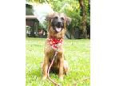Adopt Amona a Brown/Chocolate - with Black Shepherd (Unknown Type) / Collie /