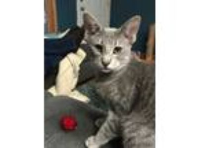 Adopt Bat C2488 a Domestic Short Hair