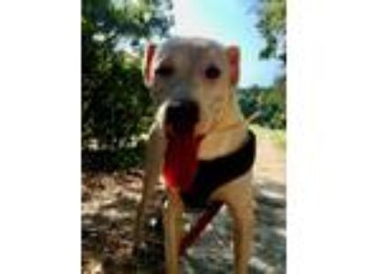 Adopt Opie a White Labrador Retriever / Shepherd (Unknown Type) / Mixed dog in