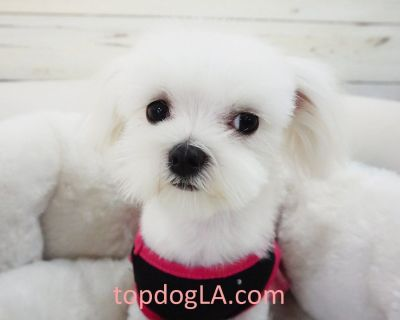 Maltese Puppy - Female - Seoul ($2,899) T Cup