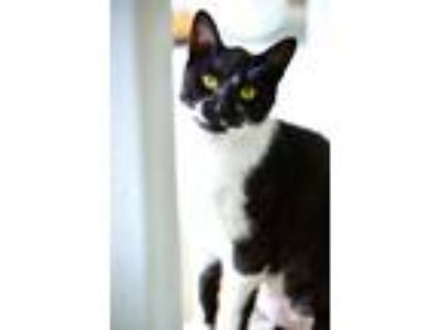 Adopt Birdie a Domestic Short Hair