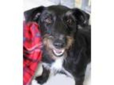 Adopt Bill Furry a Black Schnauzer (Miniature) / Mixed dog in Victoria