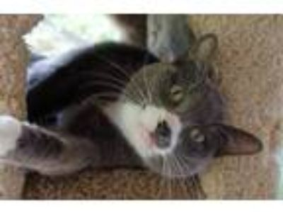 Adopt Steve French a Siamese