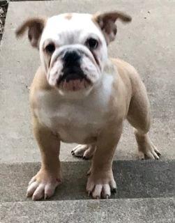 English Bulldogge PUPPY FOR SALE ADN-81426 - Playful Champion Breed  English Bull Dog Litter