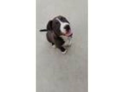 Adopt Oreo a Black - with White American Pit Bull Terrier / Golden Retriever /