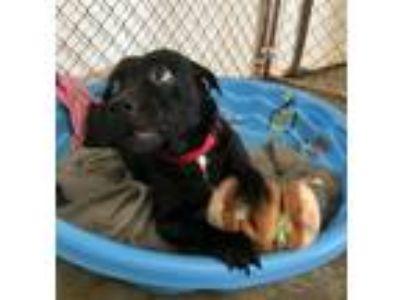 Adopt Tee Tee a Labrador Retriever, Pit Bull Terrier