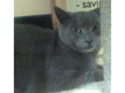 Adopt Kitty a Gray or Blue Russian Blue (short coat) cat in Manahawkin