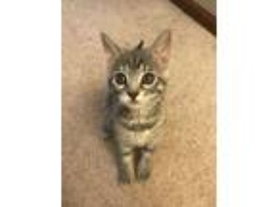 Adopt Leia a Gray, Blue or Silver Tabby Domestic Shorthair (short coat) cat in