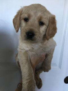 Brittnepoo PUPPY FOR SALE ADN-101884 - Precious Yellow Baby Boy