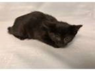 Adopt Foxgloves a Domestic Shorthair / Mixed (short coat) cat in Staten Island