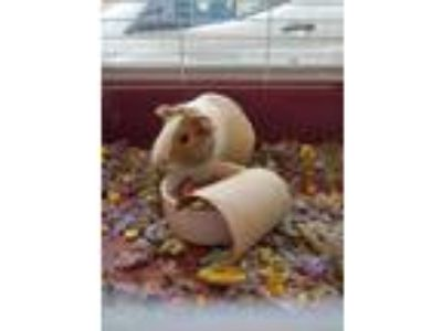 Adopt Fred a Buff Guinea Pig / Guinea Pig / Mixed small animal in Auburn