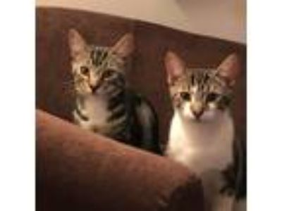 Adopt Tom & Jerry a Tiger Striped Domestic Shorthair (short coat) cat in